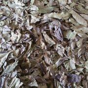 Le Kinkeliba, la plante santé par excellence qui aide à maigrir