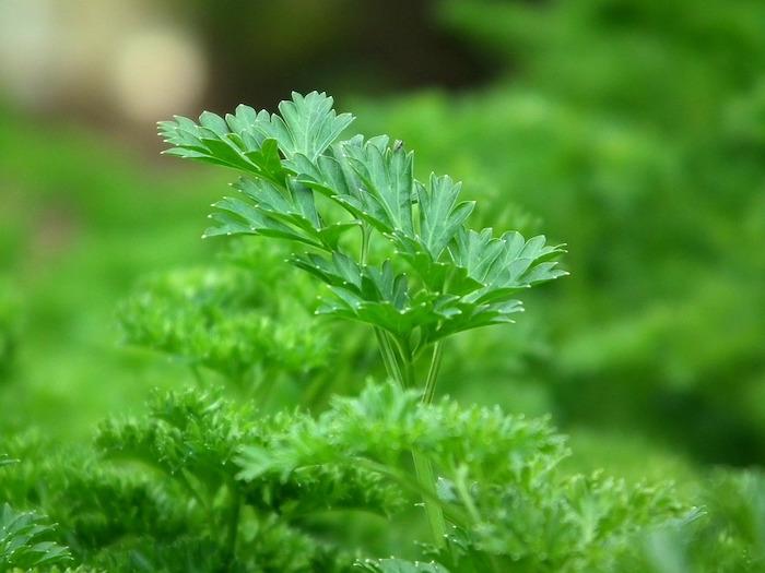 Infusion du persil pour maigrir, composition de la plante.