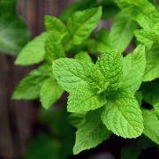 Plante pour maigrir : TOP 16 des plantes pour perdre du poids